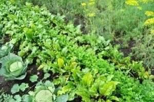 Что сажать в огороде: чередование в севообороте