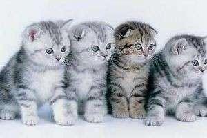 Британская и шотландская кошка: найди десять отличий