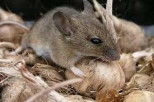 Как бороться с мышами в доме?