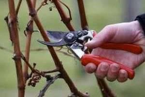Пора ягод закончилась: как подготовить малину к зиме