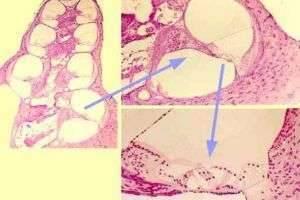 Гистология органов, систем жизнедеятельности, кожных покровов