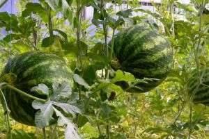 Выращивание арбузов в теплице в условиях средней полосы и на севере России