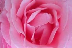 Красота природы, или Лепестки роз: применение в различных сферах