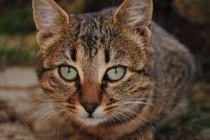 Чем кормить кастрированного кота: советуют ветеринары