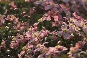 Клематисы: посадка,  уход и выращивание, группы обрезки и укрытие на зиму