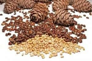 Польза и вред кедровых орехов, или Уникальные дары природы