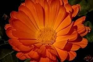 Все о полезных свойствах календулы и много рецептов для здоровья и красоты