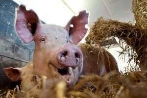 Как правильно кормить свиней для быстрого роста, и что им давать нельзя?