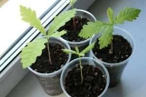 Как посадить и прорастить желудь, и можно ли его есть человеку?