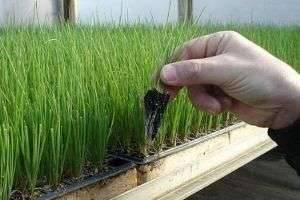 Как сажать лук на зелень в домашних условиях