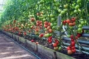 Какие помидоры лучше сажать – особенности разных сортов