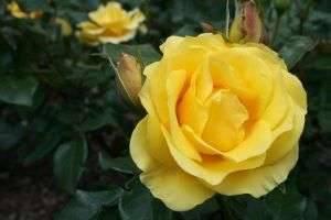 Как сажать розы из семян – основные правила посева и выращивания