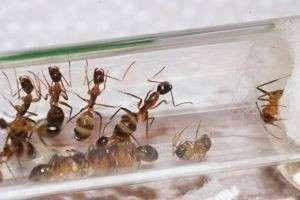 Как сделать муравьиную ферму - фурмикарий в домашних условиях?