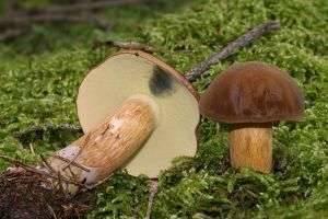 Польский гриб: как он выглядит, когда его собирать?