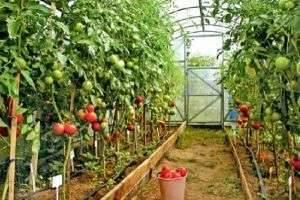 Какие помидоры сажать в теплице - советы по выбору сорта