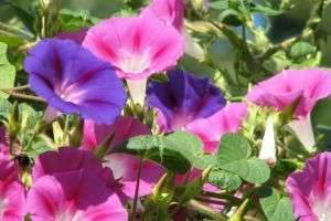 Изящная красавица ипомея: посадка и уход на балконе и в саду
