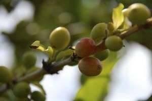 Кофейное дерево: уход в домашних условиях и профилактика заболеваний