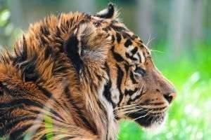 Самый маленький из тигров – суматранский тигр