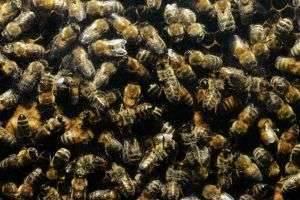 Как подготовить пчел к зимовке?