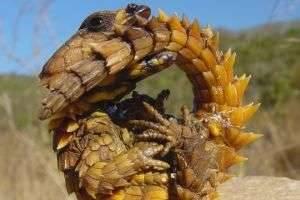 Поясохвост – сказочный дракон в живой природе