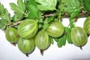 Уход осенью за крыжовником: рекомендации садоводам