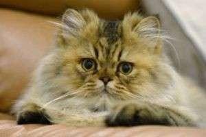 Изучаем кошачий язык: почему кошки топчут нас лапками