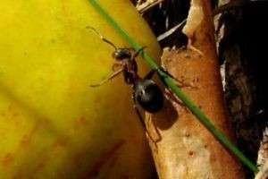Как избавиться от муравьев на участке? Накормите их пшеном!