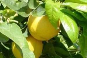 Что такое бергамот: лекарство, чай или косметическое средство
