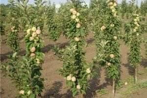 Чтобы деревце росло, или Как посадить яблоню осенью?