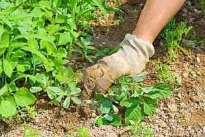 Как избавиться от сорняков на участке? Опыт бывалых дачников