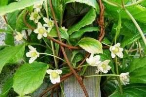 Новинка в вашем саду – лекарственная лиана. Как применять китайский лимонник?