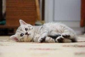 Чем кормить котенка в 2 месяца (британского, шотландского, мейн-куна)?