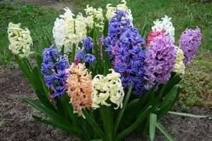 Цветы гиацинты: посадка и уход в открытом грунте и в домашних условиях.