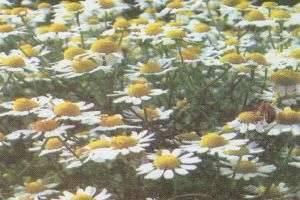 Какие лекарственные травы можно использовать для лечения печени и желчных путей?