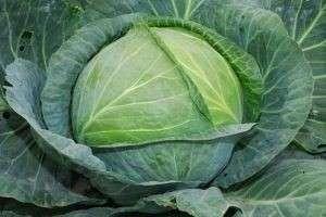 Удобрения для белокочанной и цветной капусты при посадке и в процессе роста