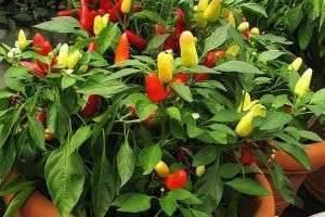 Удобрение для перца при посадке, в процессе вегетации, в теплице