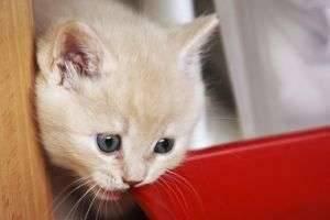 Чем кормить британского котенка? Рекомендации опытных заводчиков