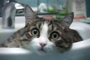Почему кошки боятся воды? Что это - страх или природный инстинкт?