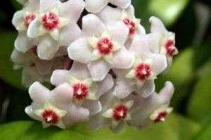 Цветок, приносящий счастье, или Правила ухода за хойей в домашних условиях