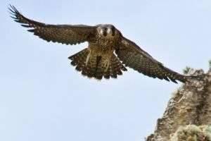 Самая быстрая птица в мире: три признанных лидера