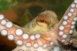 Рецепт приготовления осьминога