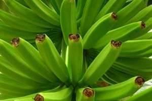 Где растут бананы и откуда пришли на наш стол эти экзотические фрукты