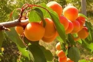 Как вырастить абрикос из косточки и полакомиться его плодами