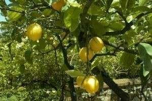 Как вырастить лимон в домашних условиях — все о непривередливом цитрусе