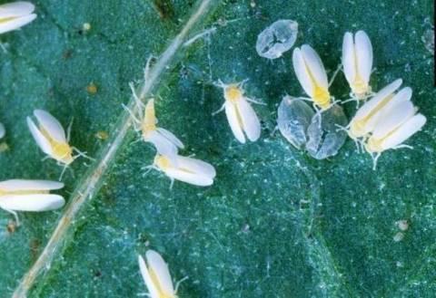 Cпособы борьбы с белокрылкой на комнатных растениях