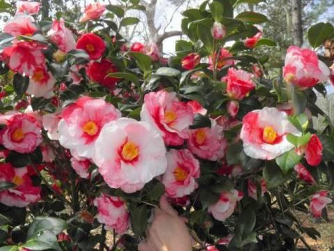 Камелия японская. Как ухаживать в саду и в квартире?