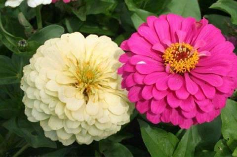 Цинния из семян – выращивание и уход