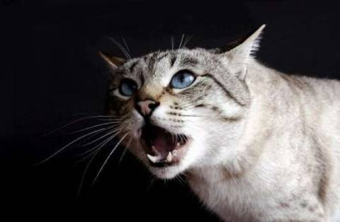 Что делать, если стерилизованная кошка орет?
