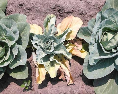 Как бороться с болезнями и вредителями капусты?