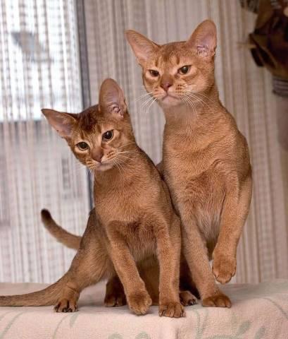 Есть ли гипоаллергенные кошки?